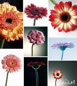 Gerbera-Blumen